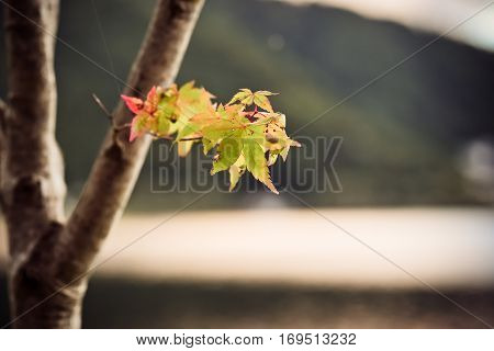 Autumn is coming small maple leafs on tree.