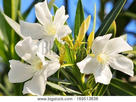 white flowers on the island of Maui Hawaii