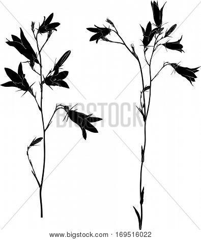 illustration with black campanula flowers isolated on white background