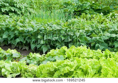 Fresh green lettuce and bush bean plants on a vegetable garden ground.