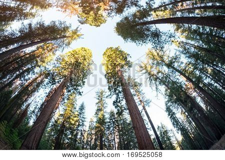 Sequoia trees in the forest of the Yosemite National Park, USA