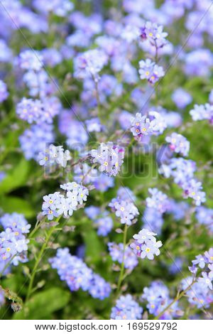 Myosotis sylvatica - Forget-me-not flowers in a garden. Shallow DOF!