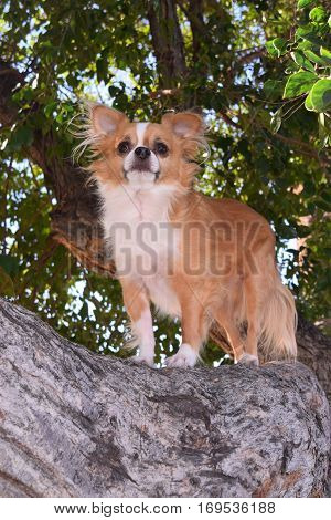 a small Chihuahua dog stands on a tree branch