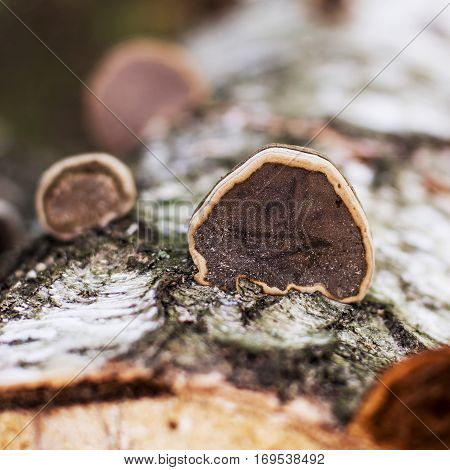 several timber fungi on old birch tree in the forest