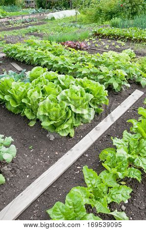 Batavia lettuce, fresh spinach, bush bean plants and other vegetables on a vegetable garden ground