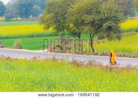 Abhaneri India 21st January 2017 - A woman walks on a road past mustard fields in Abhaneri Rajasthan India.