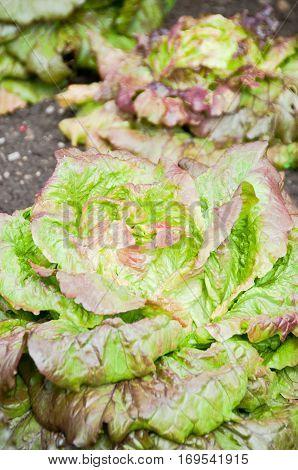 Red lettuce plants on a vegetable garden ground