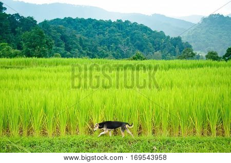 Dog andyoung terrace rice plantation in a Karen village, Thailand
