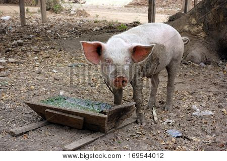 One little piglet eating out of the wooden trough