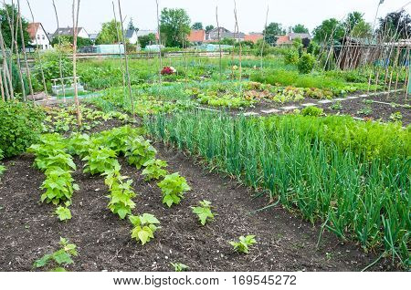String bean and onion plants on a vegetable garden ground with other vegetables in the background