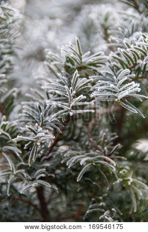Fir needles covered in morning ice crystals close up