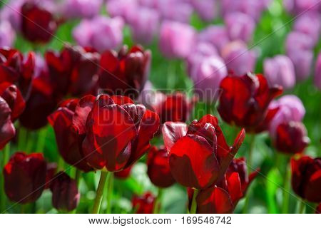 Tulip flowers. Fresh red tulips Glade. Field with red tulips in the Netherlands. Red tulips background. Group of red tulips in the park. Spring landscape. Tulip background. Beautiful bouquet of flower