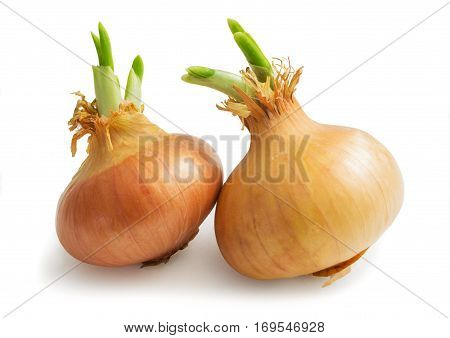 Two sprouted large onions on white background