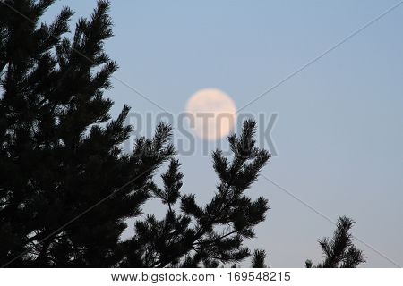 Photo of pine branches silhouetted against a blurred moon disk on a light northern night sky