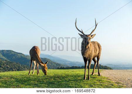 Male Deer at highland