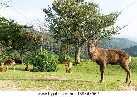 Stag Deer in park
