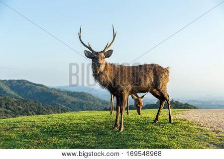 Stag Deer at highland