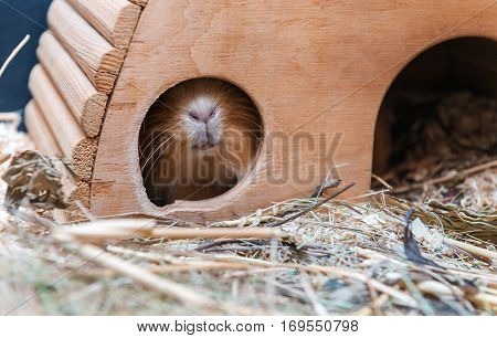 Cute red guinea pig hiding in wooden house.