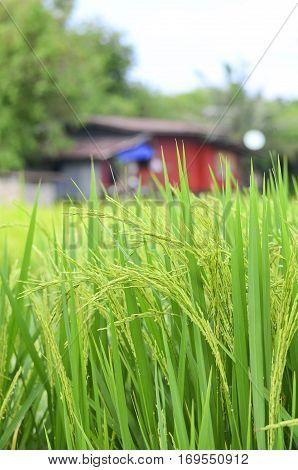 Farmer house in the rice field, Thailand