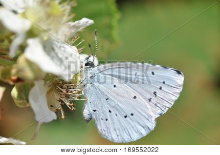 Celastrina argiolus, Holly Blue butterfly collecting nectar on wild flowers.