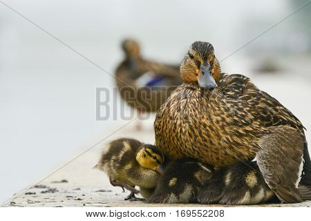 Mother duck and little ducklings