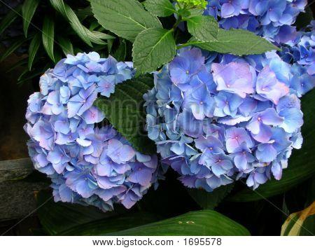 Purple Hydrangias