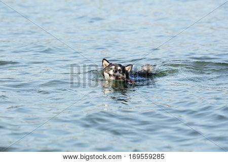 Cute little Shiba Inu dog in water