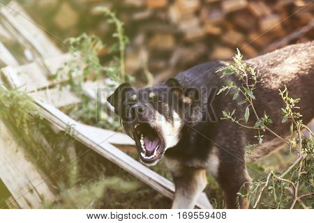 Outbred barking dog on leash outdoors