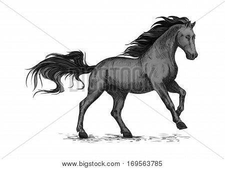 Black mustang stallion racing or galloping. Vector horse sketch for equestrian sport, horse riding. Wild raging sport horse hopping and running on races with waving mane and tail