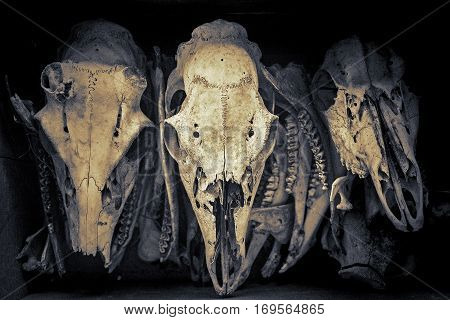 Three animal skulls Three animal skulls Three animal skulls