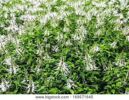 Cat's whiskers flower plantation in flower bed garden