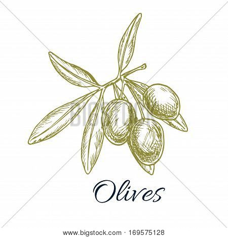 Olives sketch icon. Vector isolated green olive branch. Design for for olive oil label, healthy vegetarian and vegan vegetable food menu. Symbol of Italian, Mediterranean, Greek or Spanish cuisine cooking, salad ingredient and seasoning
