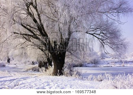 willow in hoarfrost. Winter forest landscape in early winter morning- deciduous frosty grass under winter snowfall and warm sunlight. Lonely tree among the fields. frozen river.