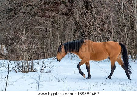 Beautiful light-bay stallion with black mane grazing in winter mountain forest