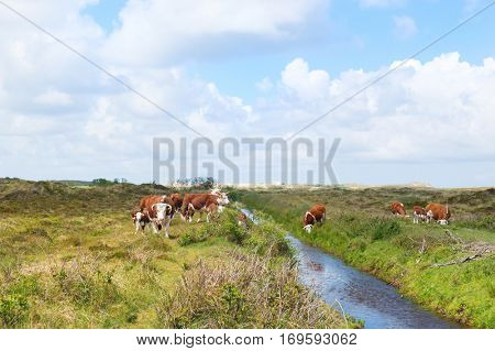 Brittain Hereford cattle with calves in Dutch landscape with dunes