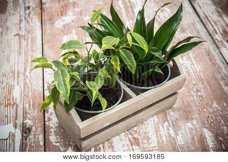 Green home garden plants in wooden box on old vintage board background. Rustic tabletop with copyspace.