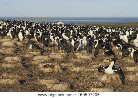Large colony of Imperial Shag (Phalacrocorax atriceps albiventer) on Bleaker Island on the Falkland Islands. Unused nests from previous years in the foreground.