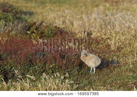 Falkland Skua chick (Catharacta antarctica) in grass land on Bleaker Island in the Falkland Islands.