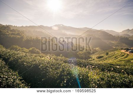 Landscape Row Of Tea Plantation On Mountain In Mountain