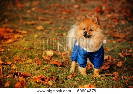 The story of spitz in the blue sweater