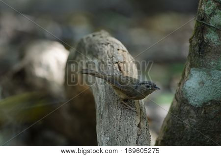 Brown-cheeked Fulvetta, Grey-eyed Fulvetta