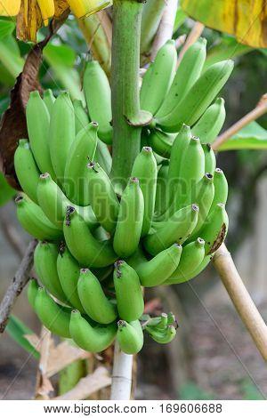 Fresh green banana on the banana tree