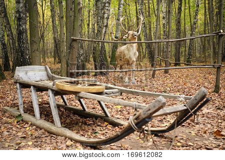 Wooden sleigh and deer stuffed in yellow autumn forest, focus on deer