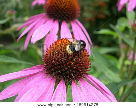 Bumblebee on a pink flower of echinacea