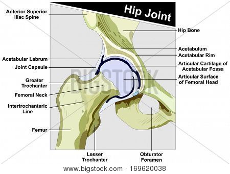 Hip Joint Anatomy diagram anatomical structure consist of femur and hip bone of human body with all parts capsule cross section figure for medical education vector