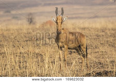 Lelwel Hartebeest which stands in the savannah during the dry season on the background of dried herb