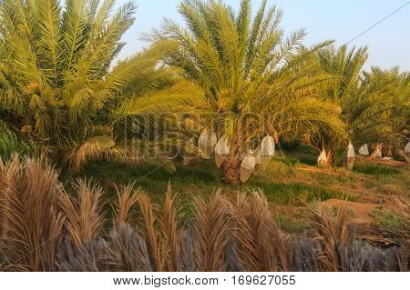 Plantation of date palms with plastic bags used for protection of ripening fruits against birds. Date palms have an important place in advanced desert agriculture in the Middle East