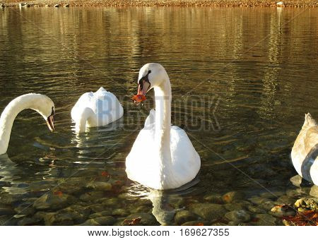 Mute Swans relaxing on Schwansee, the Lake at the foothill of Hohenschwangau Castle, Bavaria, Germany