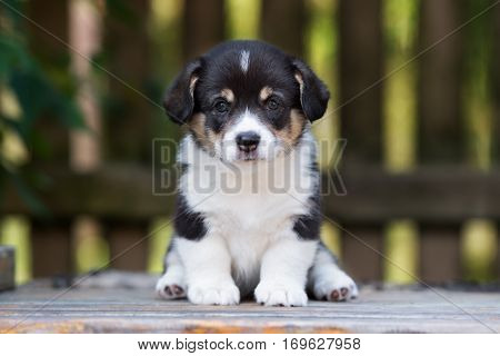 adorable welsh corgi pembroke puppy outdoors in summer