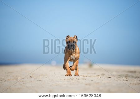 adorable red cane corso puppy walking on the beach